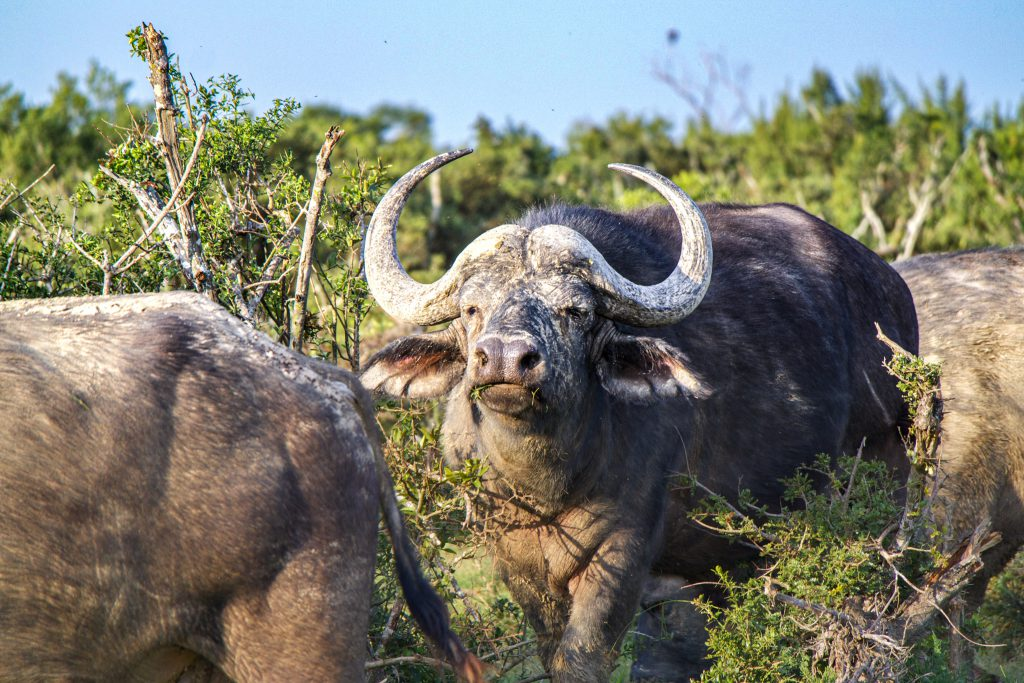 Buffel in Zuid Afrika